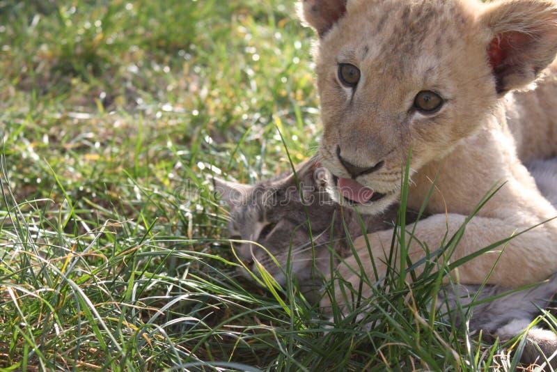 Leão e gato foto de stock