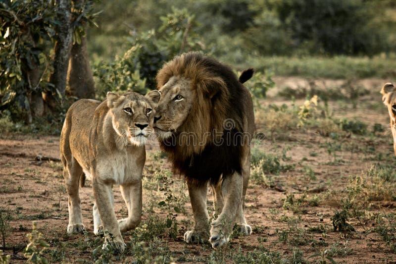 Leão e leoa fotografia de stock