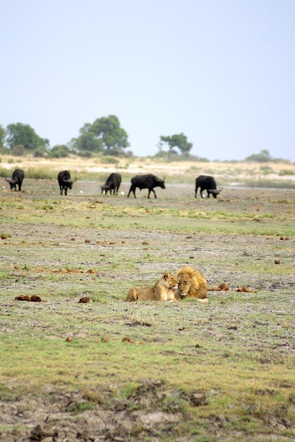 Leão e leoa em Botswana imagens de stock royalty free