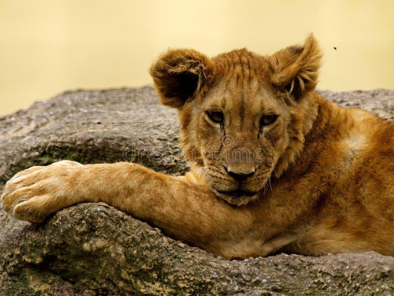 Leão e mosca novos fotografia de stock royalty free