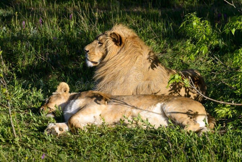 Leão e sua mentira da leoa sob a árvore no parque do safari foto de stock royalty free