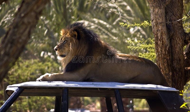 Leão em um carro foto de stock royalty free