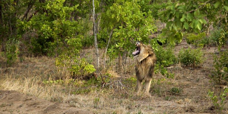 Leão em Zimbabwe fotografia de stock