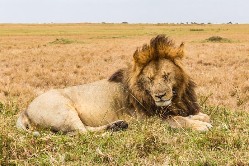 Leão enorme do sono no monte Savana do Masai Mara, Kenya imagens de stock