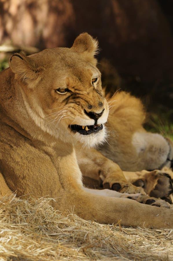 Leão fêmea imagem de stock