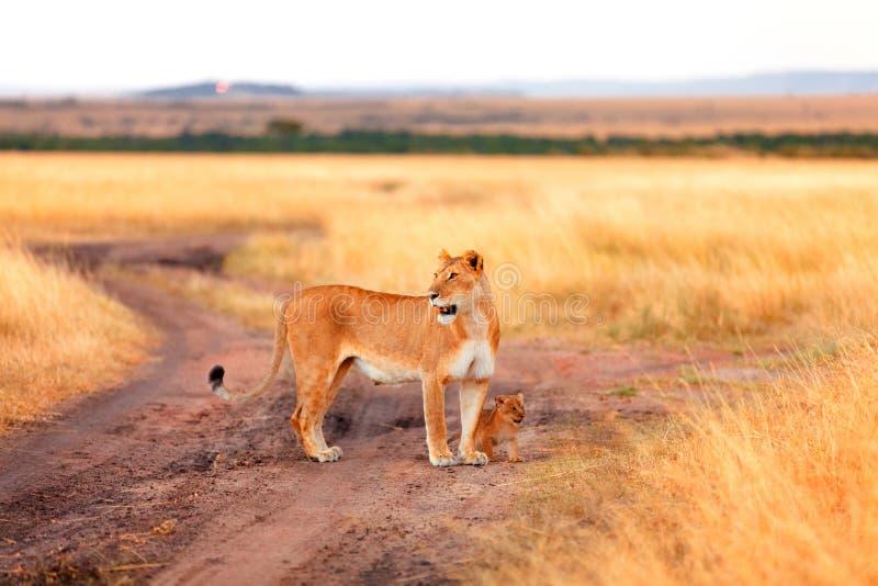 Leão fêmea com os filhotes no Masai Mara fotografia de stock