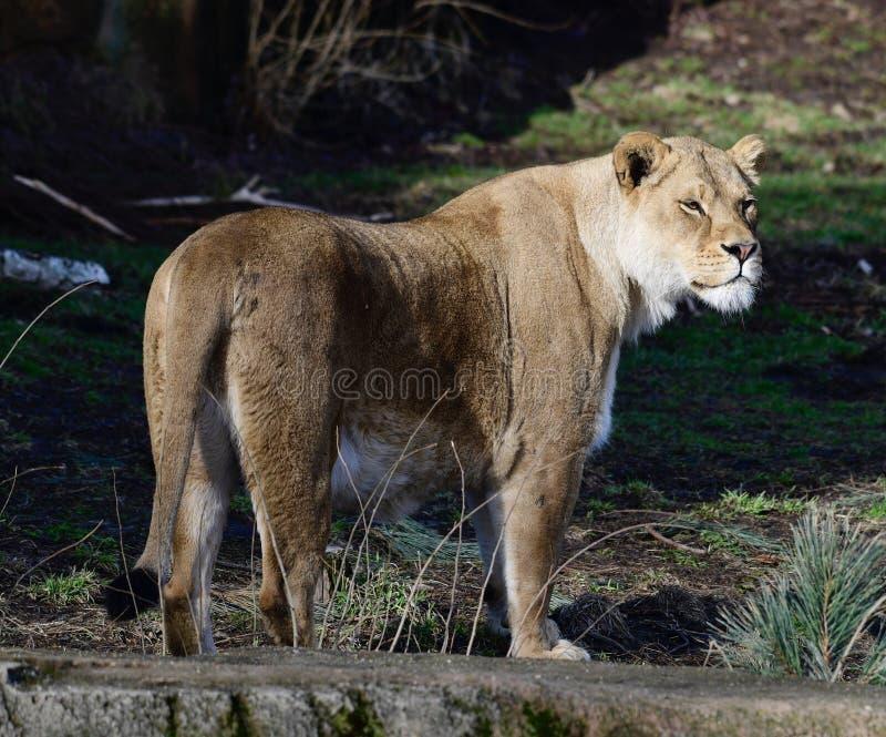 Leão fêmea #1 fotografia de stock