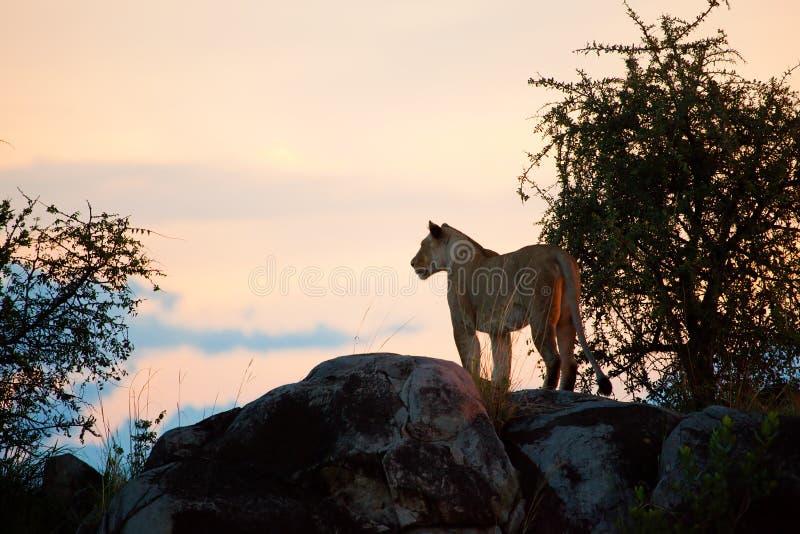 Leão fêmea no por do sol. Serengeti, Tanzânia imagem de stock royalty free