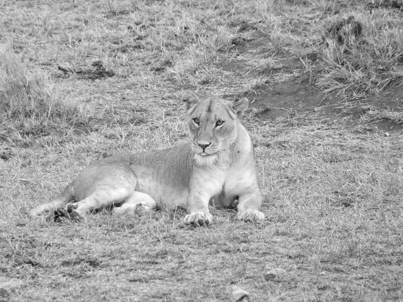 Leão fêmea no sepia fotografia de stock royalty free