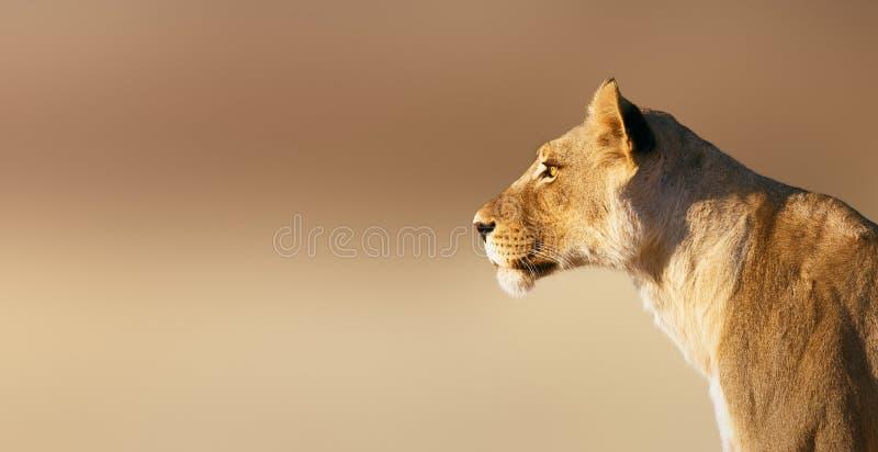 Retrato da leoa imagens de stock royalty free