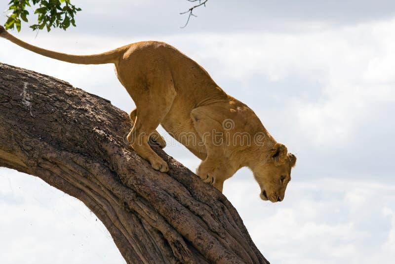 Leão fêmea (panthera leo) que escala para baixo uma árvore foto de stock royalty free
