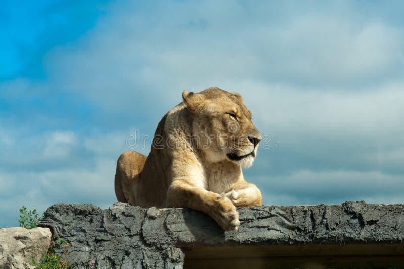 Leão fêmea que descansa em uma rocha fotografia de stock