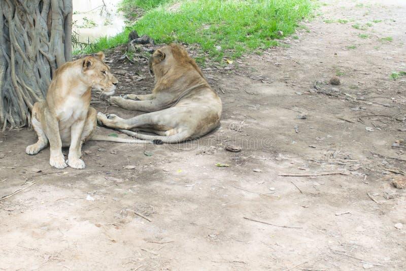 Leão gêmeo foto de stock royalty free