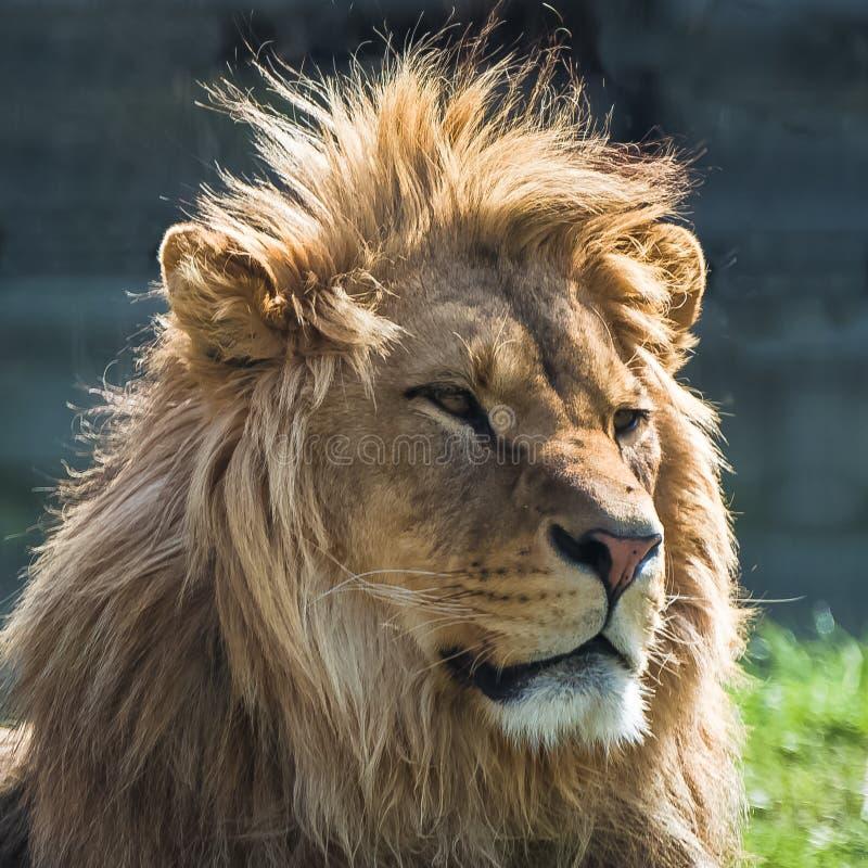Leão grande imagem de stock royalty free