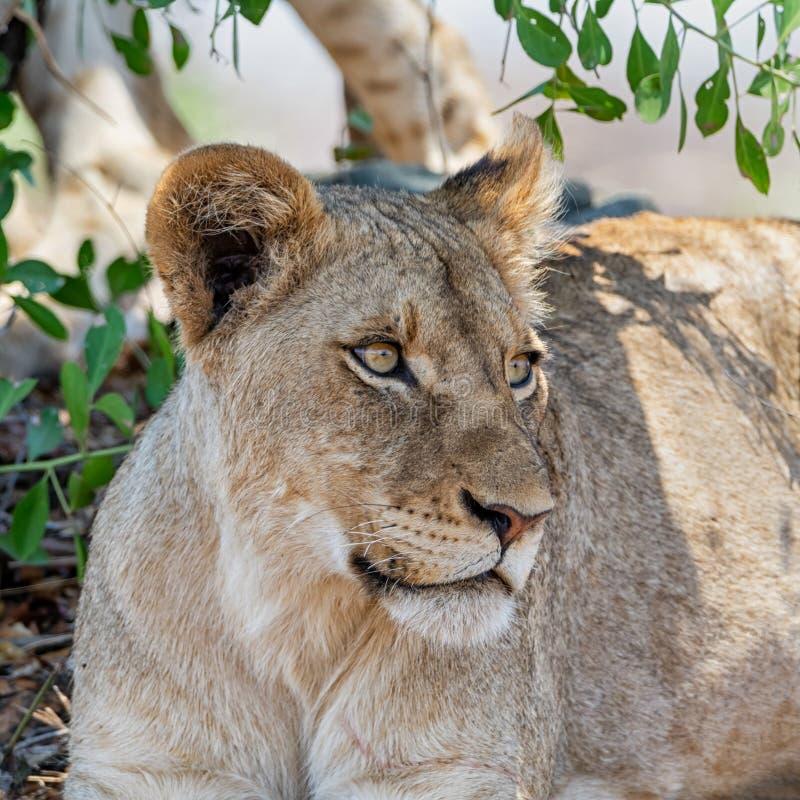 Leão juvenil fotografia de stock