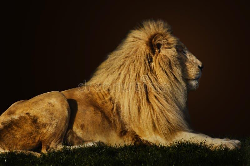 Leão majestoso foto de stock