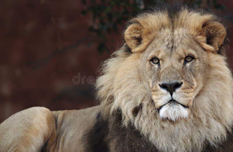 Leão majestoso fotografia de stock royalty free