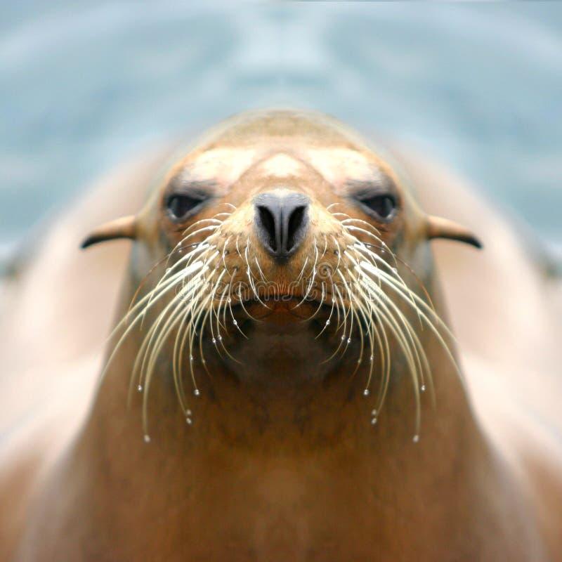 Leão-marinho foto de stock