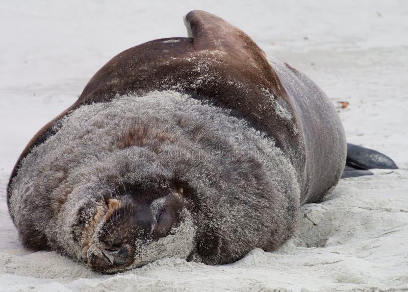 Leão-marinho de Nova Zelândia imagens de stock