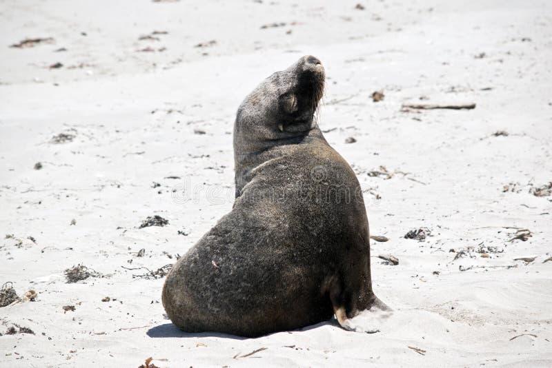 Leão-marinho na praia imagem de stock