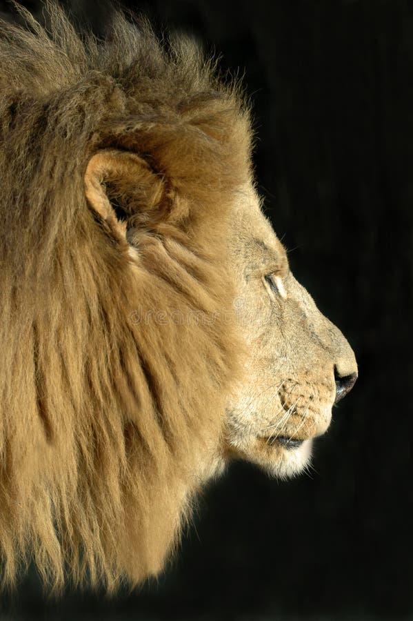 Leão masculino. imagem de stock