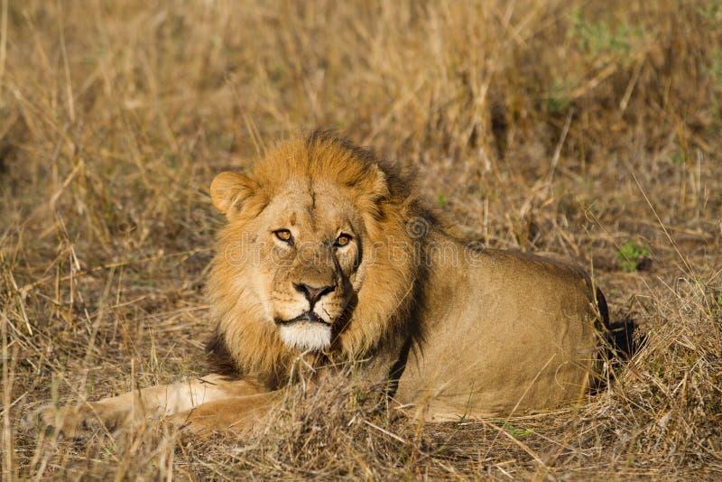 Leão masculino fotografia de stock royalty free