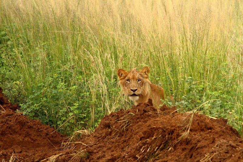 Leão masculino adolescente que olha para fora da selva imagens de stock