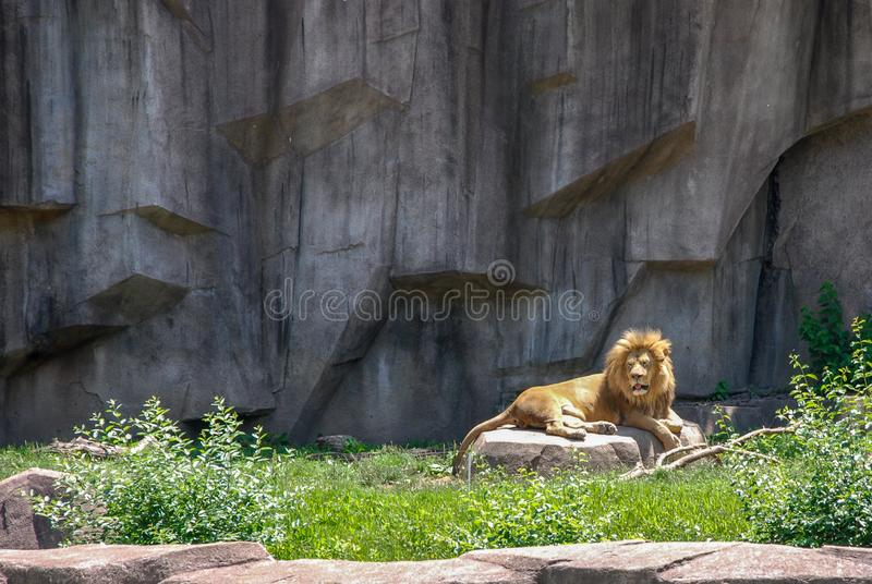 Leão masculino adulto que expõe-se ao sol em um jardim zoológico de Milwaukee County da rocha, Wisconsin fotografia de stock royalty free