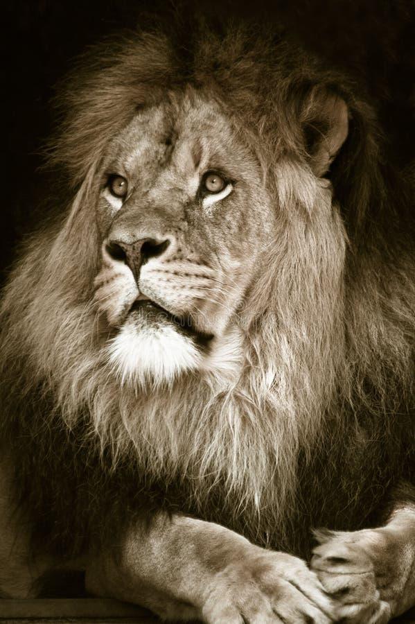 Leão masculino africano grande fotografia de stock royalty free
