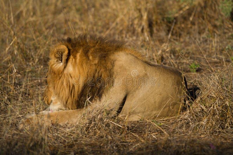 Leão masculino, Botswana foto de stock