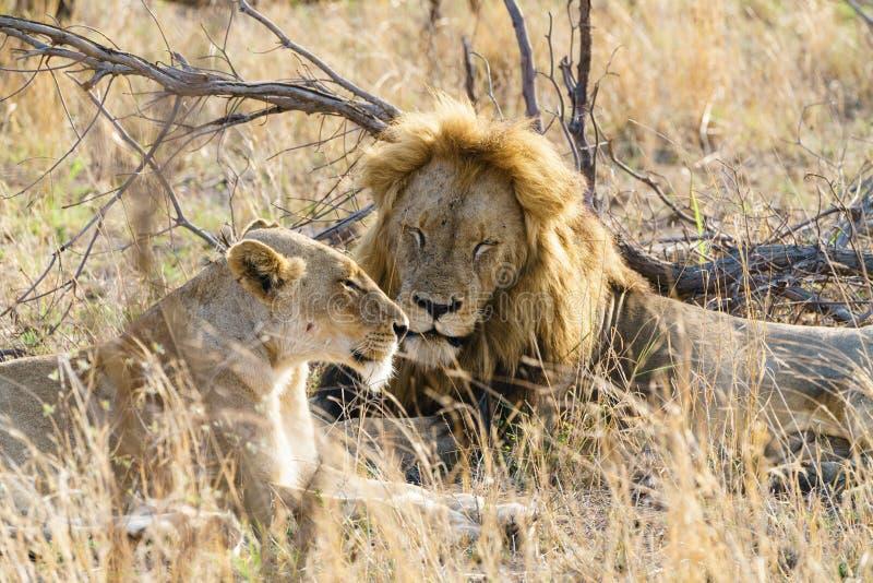 Leão masculino e feminino (Panthera leo) descansando juntos, tomados na África do Sul imagem de stock royalty free