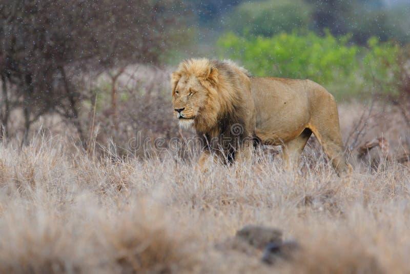 Leão masculino em Kruger NP - África do Sul fotografia de stock royalty free
