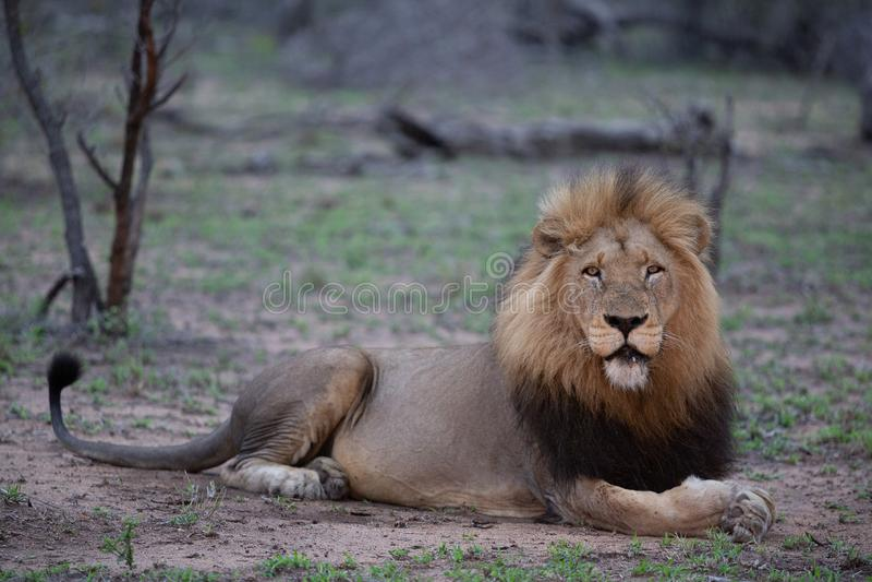 Leão masculino em sua postura principal do alerta enquanto fazendo o contato de olho direto imagem de stock