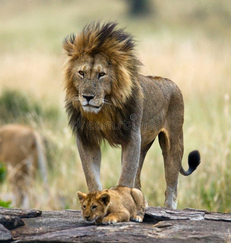 Leão masculino grande com filhote Parque nacional kenya tanzânia Masai Mara serengeti fotografia de stock