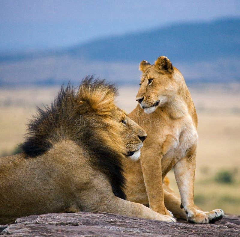 Leão masculino grande com juba lindo e leoa em uma rocha grande Parque nacional kenya tanzânia Masai Mara serengeti fotos de stock royalty free