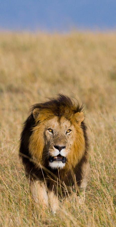 Leão masculino grande no savana Parque nacional kenya tanzânia Maasai Mara serengeti foto de stock royalty free