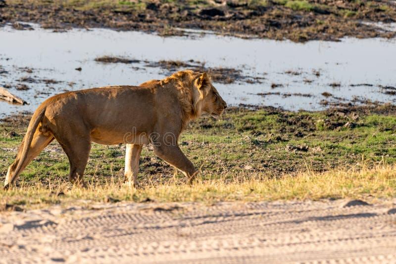 Leão masculino no parque nacional do chobe em botswana no rio do chobe imagem de stock