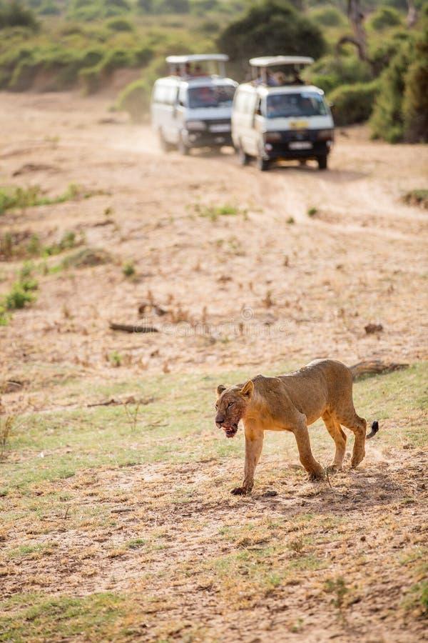 Leão masculino novo em África fotografia de stock royalty free
