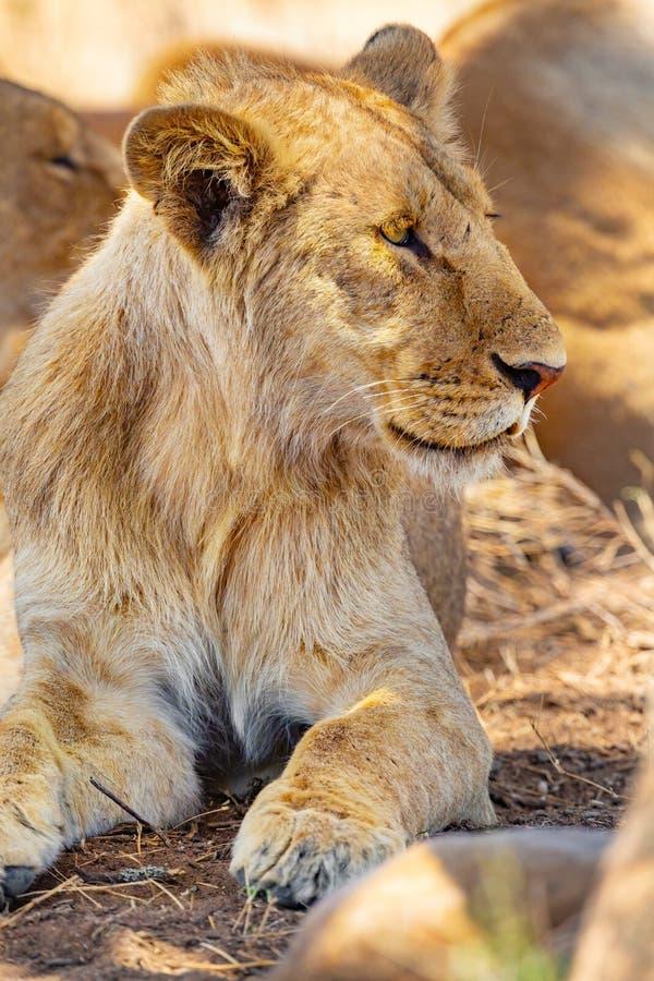 Leão masculino novo que descansa junto com o orgulho em Serengeti foto de stock