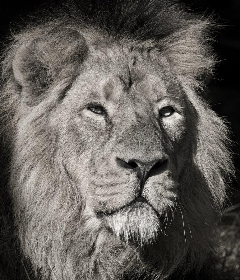 Leão masculino - parque nacional de Chobe - Botswana foto de stock royalty free