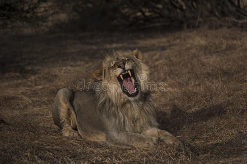 Leão masculino que levanta em seu melhor imagem de stock