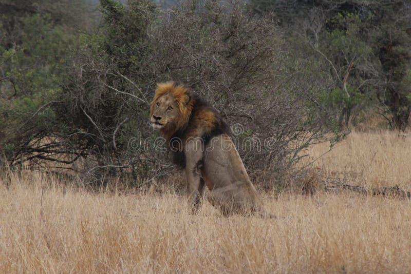 Leão masculino que olha ao redor para ele a rapina seguinte do ` s foto de stock royalty free