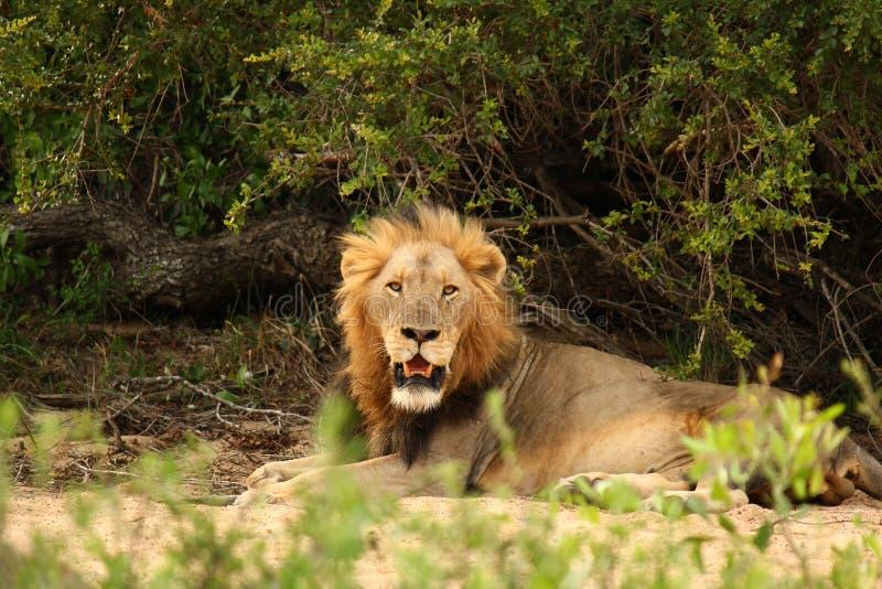 Leão masculino que relaxa no reverbed imagens de stock
