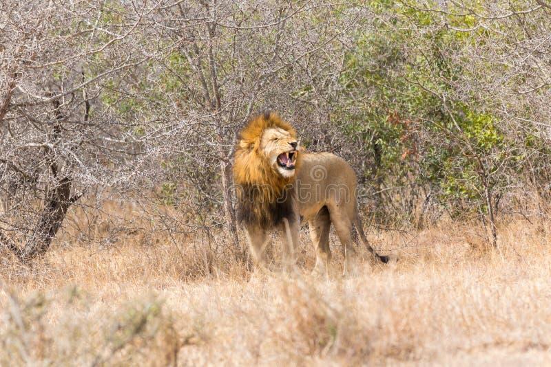 Leão masculino que ruje foto de stock royalty free