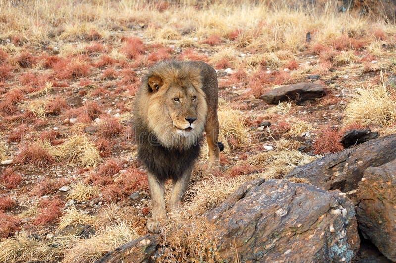 Leão masculino surpreendente no savana de Namíbia fotografia de stock royalty free