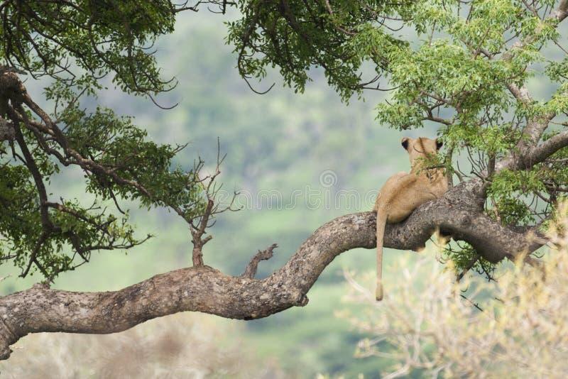 Leão na árvore África do Sul imagem de stock royalty free
