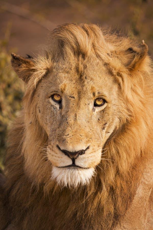 Leão na luz solar do amanhecer em Kruger NP, África do Sul foto de stock