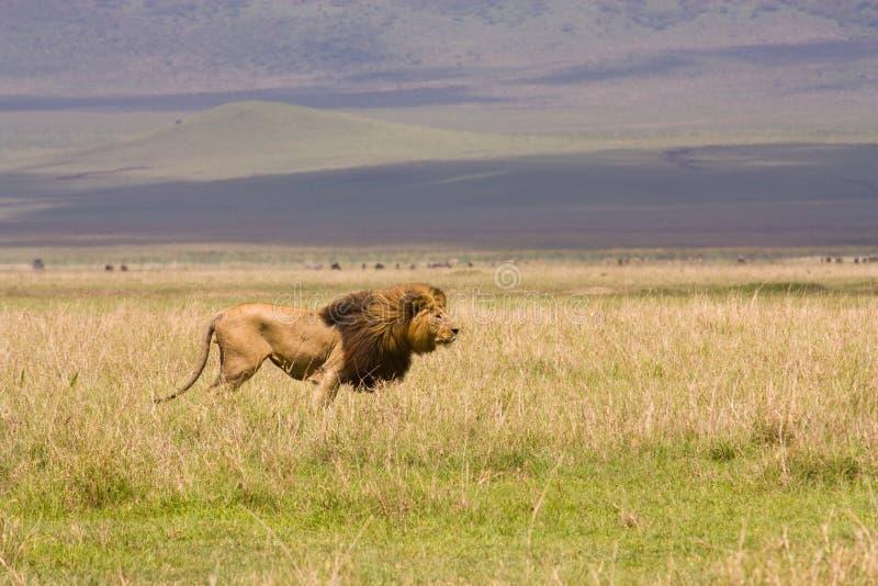 Leão na paisagem larga de Serengetti fotografia de stock royalty free