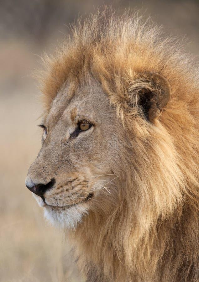Leão na região de Savuti de Botswana fotografia de stock