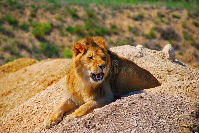 Leão, natureza, animal, parque, safari, Taigan, areias, predador, animal predatório imagem de stock